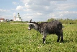 Suzdal Kremlin and goats